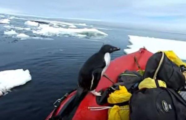 Внезапный визит пингвина к ученым попал на видео в Антарктике