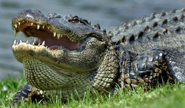 Знаменитый аллигатор длиной 4,5 метра соскучился по  людям и попал на видео