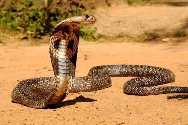 Известный укротитель змей из Малайзии умер от укуса кобры