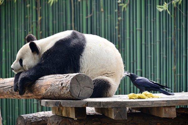 Смелый вороненок выдрал клок меха с зада панды для гнезда