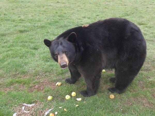 Жительница США запечатлела на видео игры медведя на батуте