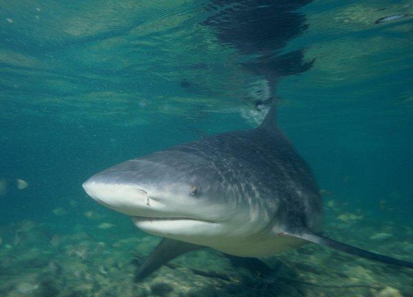 В Индии впервые за 10 лет выловили огромную речную акулу и сразу съели