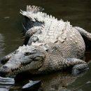 В Австралии работники зоппарка сняли на камеру нутро огромного крокодила