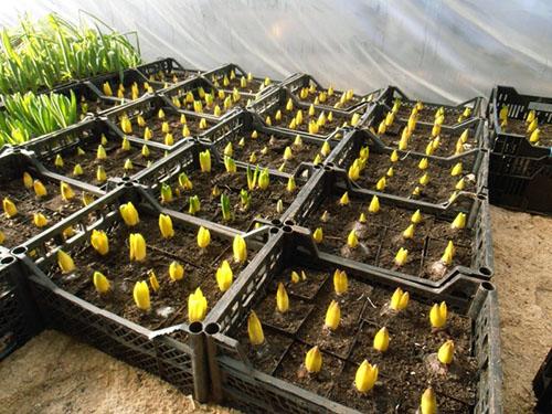 Все о выращивании и уходе за гиацинтами