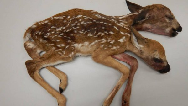 Труп двуглавого олененка нашел грибник в лесу США