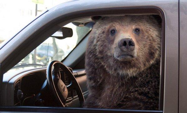 В США медведь сел в машину и начал гудеть