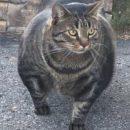 Мускулистый кот из Канады покорил соцсети