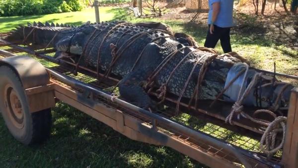 После 8 лет охоты в Австралии поймали 600-килограммового крокодила