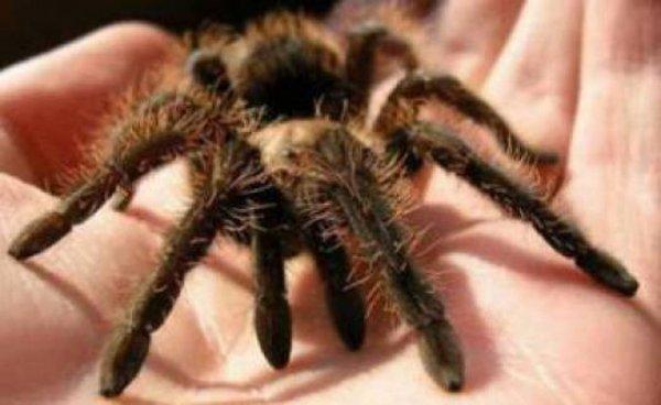 В Британии людей пугают вырвавшиеся на свободу огромные пауки-птицееды