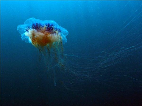 Это настоящий монстр: Британцы ужаснулись от вида выброшенной на берег огромной медузы