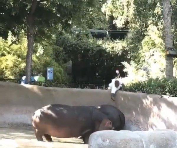 В США посетитель пришел в зоопарк, чтобы отшлепать бегемотиху Рози