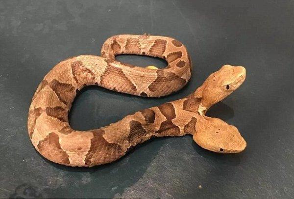 Одно тело, две головы: Редкую ядовитую змею обнаружили жители США — герпетолог