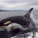 В Калифорнии гигантские киты-убийцы открыли охоту на местных рыбаков