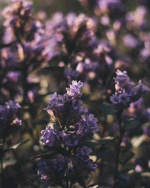Предтеча бед: В Индии впервые за 12 лет распустились цветы Куринджи
