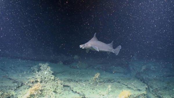 У берегов Ирландии найден «детский сад» акул
